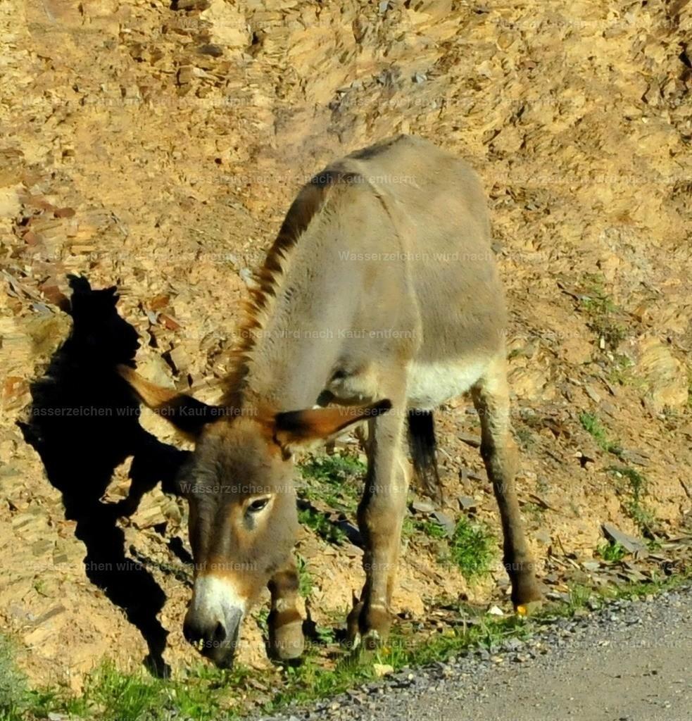 Marokkanischer Esel | Marokkanischer Esel