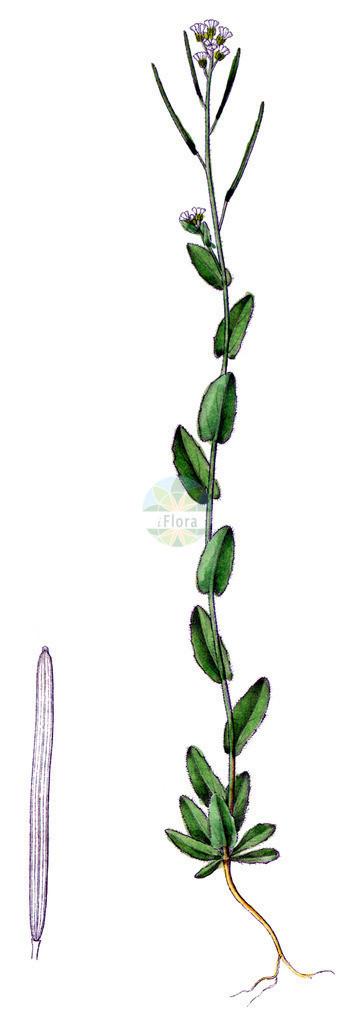 Arabis nova | Historische Abbildung von Arabis nova. Das Bild zeigt Blatt, Bluete, Frucht und Same. ---- Historical Drawing of Arabis nova.The image is showing leaf, flower, fruit and seed.