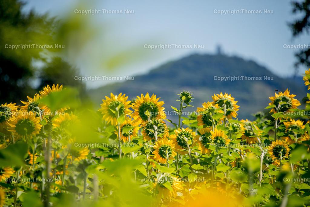 Sonnenblumen_DSC_8721 | ,, Bild: Thomas Neu