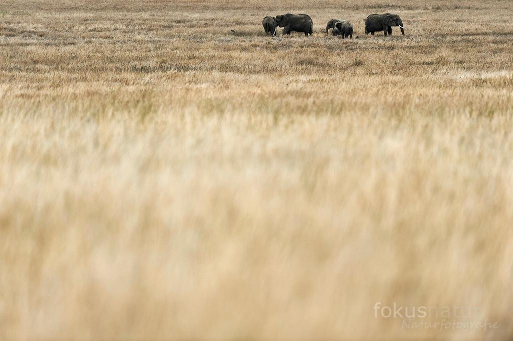 Elefanten im Grasland | Eine Elefantenherde im weiten Grasland der Serengeti.