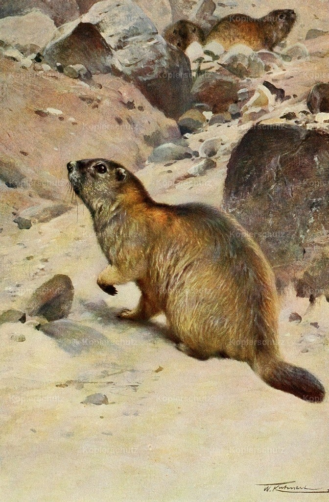 Kuhnert_ F.W. (1865-1926) - Wild Life of the World 1916 - Alpine Marmot