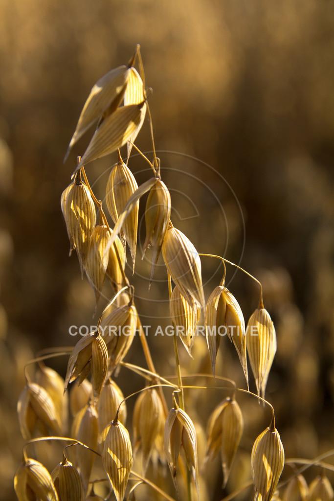 20130801-_MG_8409 | reife Haferpflanzen - AGRARMOTIVE Bilder aus der Landwirtschaft