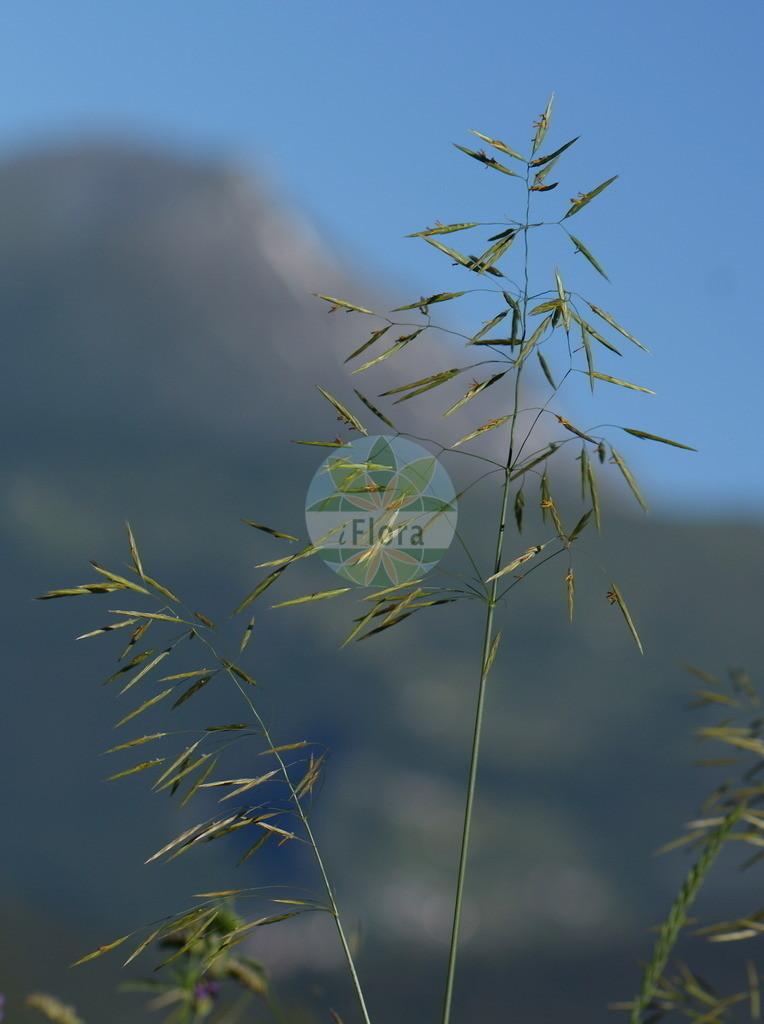 Bromopsis inermis (Unbegrannte Trespe - Hungarian Brome) | Foto von Bromopsis inermis (Unbegrannte Trespe - Hungarian Brome). Das Foto wurde in Bormio, Lombardia, Italien, Alpen aufgenommen. ---- Photo of Bromopsis inermis (Unbegrannte Trespe - Hungarian Brome).The picture was taken in Bormio, Lombardia, Italy, Alps.