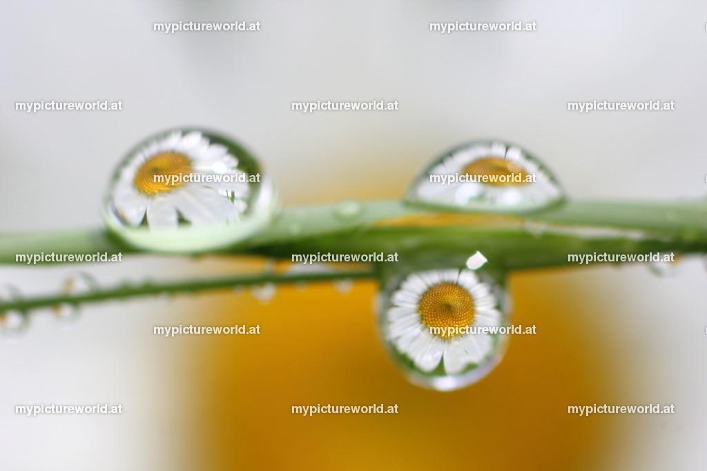 Wassertropfen-041   Spiegelnde Margeriten in Wassertropfen