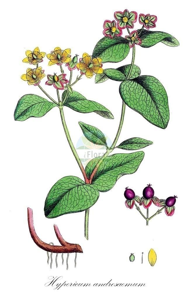 Historical drawing of Hypericum androsaemum (St. John's Wo | Historical drawing of Hypericum androsaemum (St. John's Wo