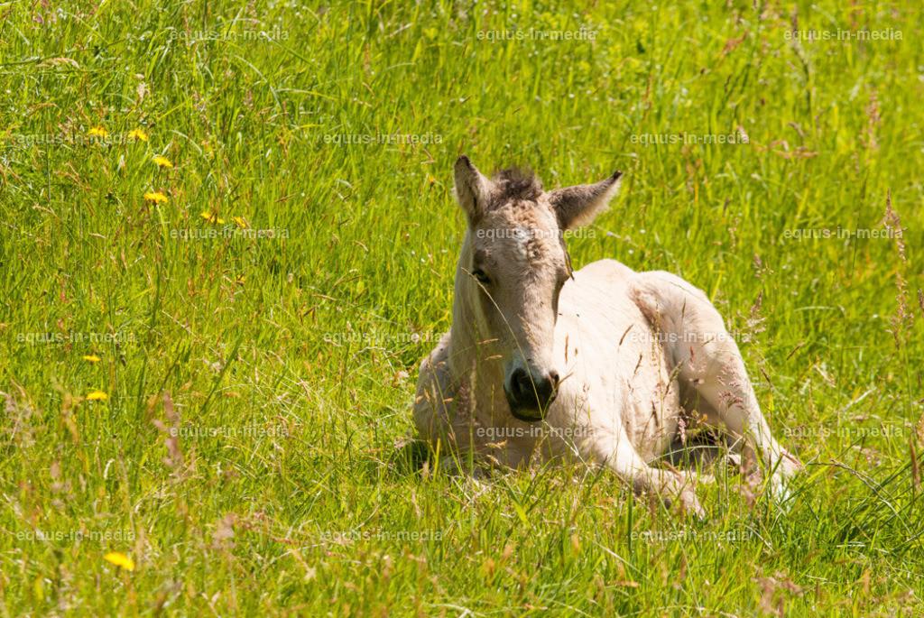 20100616-DSC_6680 | Curly Horse Fohlen liegt auf der Weide
