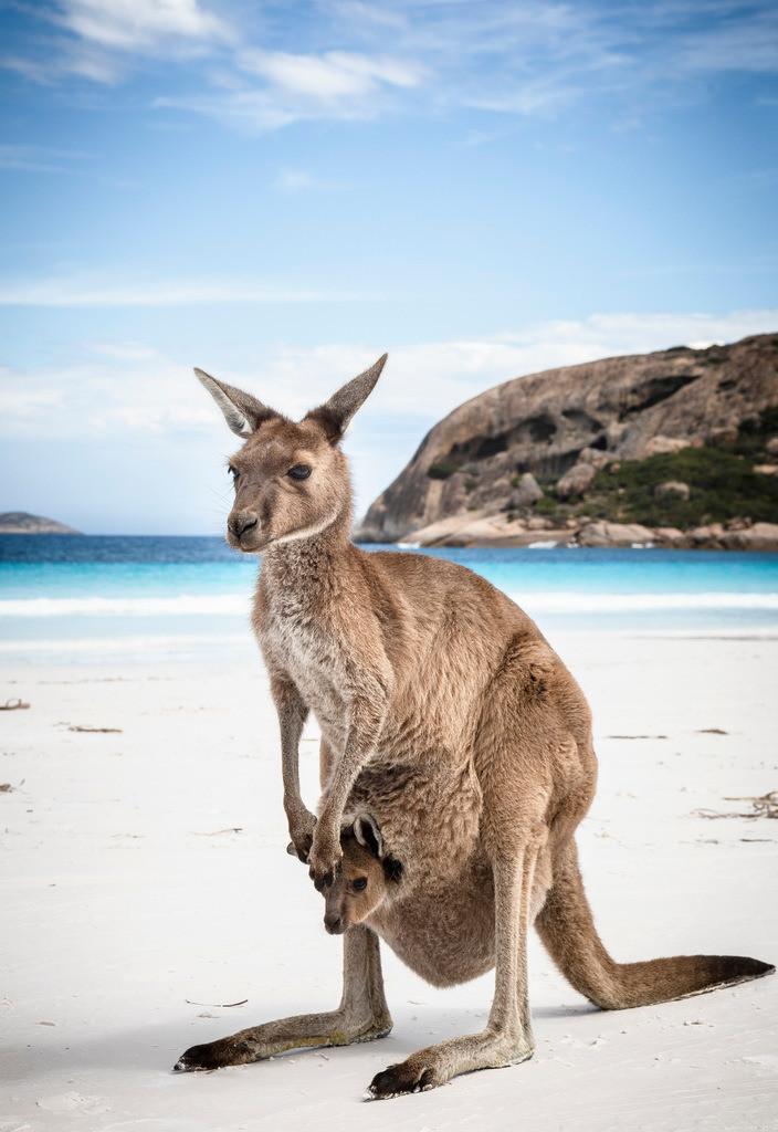 Kangaroo 2 - Lucky Bay - Esperance