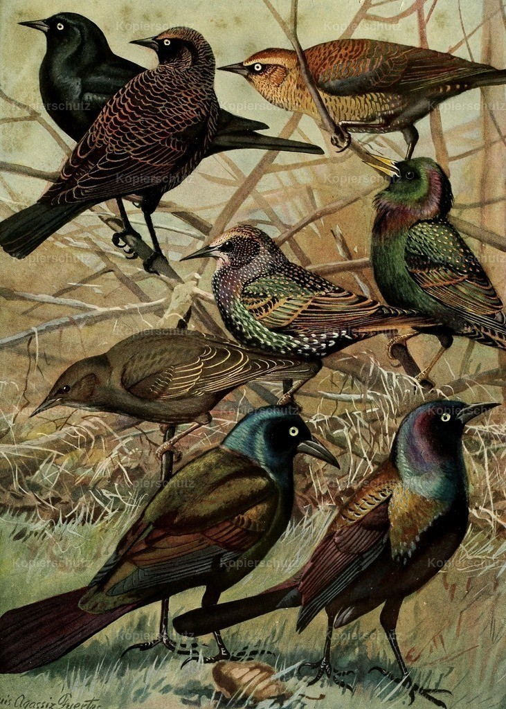 Fuertes_ L.A. (1874-1927) - Birds of Massachusetts 1925 - Starlings _ Grackle