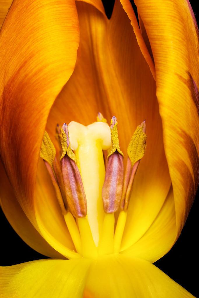 Gelbe Tulpenblüte - Tulipa | Blüte einer gelben Tulpe (Tulipa).