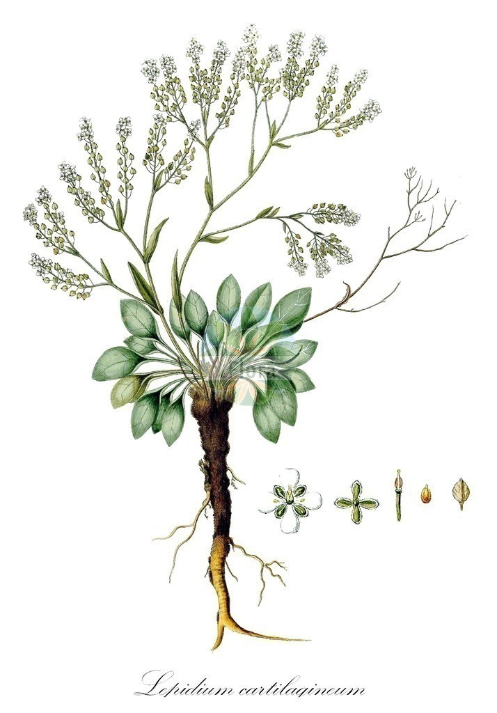 Historical drawing of Lepidium cartilagineum (Pepperweed)   Historical drawing of Lepidium cartilagineum (Pepperweed) showing leaf, flower, fruit, seed