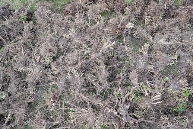 Wurzelgeflecht | Breitflächig ausgelegte entwurzelte Pflanzen.