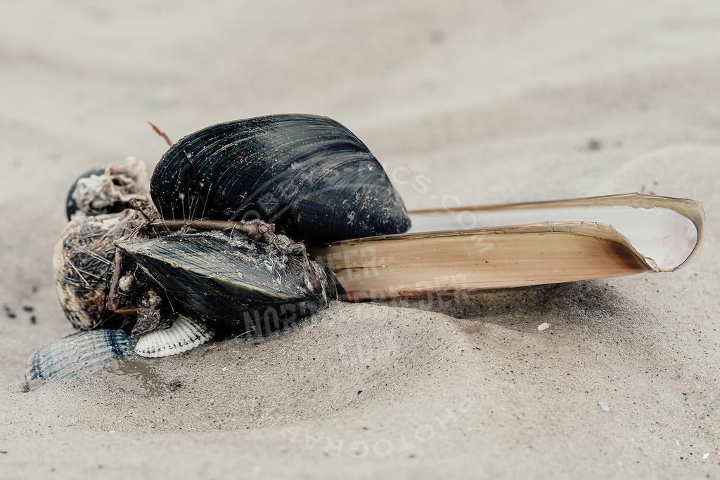 _DSC2880-Bearbeitet | Muscheln am Strand von St. Peter-Ording