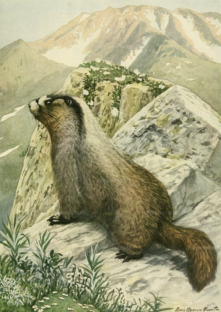 Fuertes_ L.A. (1874-1927) - Wild Animals of N. America 1918 - Hoary Marmot or Whistler