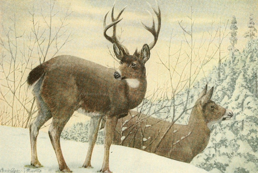 Fuertes_ L.A. (1874-1927) - Wild Animals of N. America 1918 - Black-Tailed Deer
