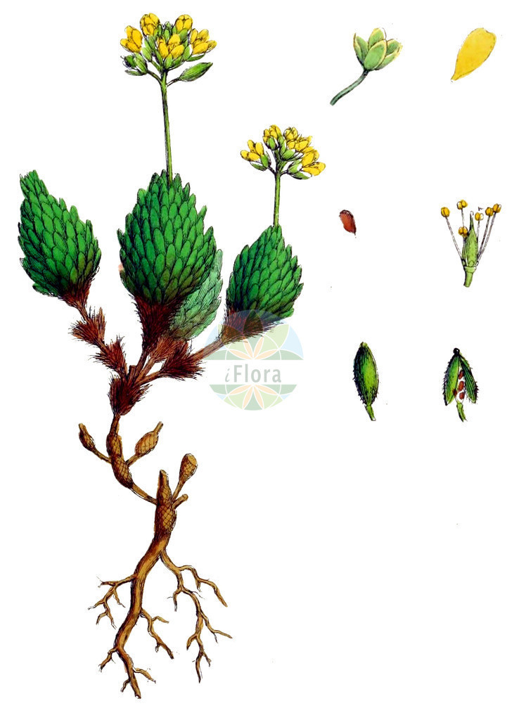 Draba aizoides (Immergruenes Hungerbluemchen - Yellow Whitlowgrass) | Historische Abbildung von Draba aizoides (Immergruenes Hungerbluemchen - Yellow Whitlowgrass). Das Bild zeigt Blatt, Bluete, Frucht und Same. ---- Historical Drawing of Draba aizoides (Immergruenes Hungerbluemchen - Yellow Whitlowgrass).The image is showing leaf, flower, fruit and seed.