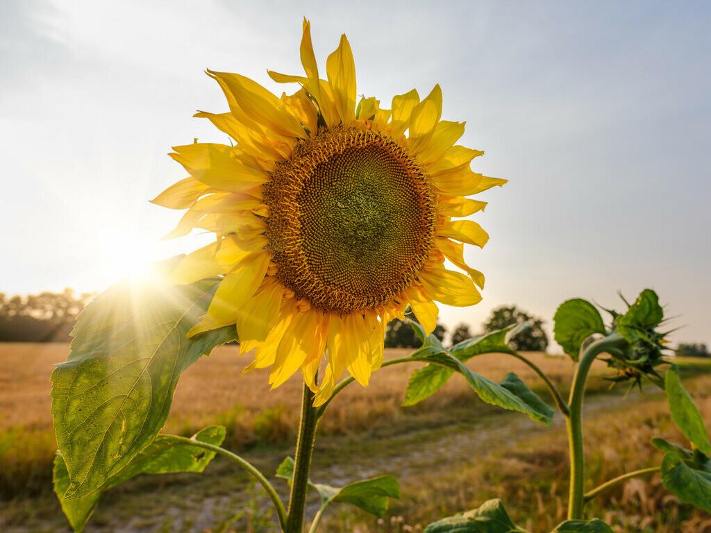 Sonnenblume im Gegenlicht  | Sonnenblume im Gegenlicht auf einem Feld zwischen der Herforder Straße und dem Bahndamm am Meyerwald.