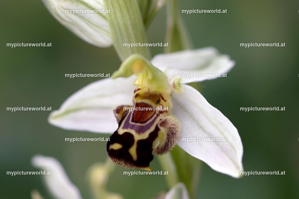 Bienen-Ragwurz-019