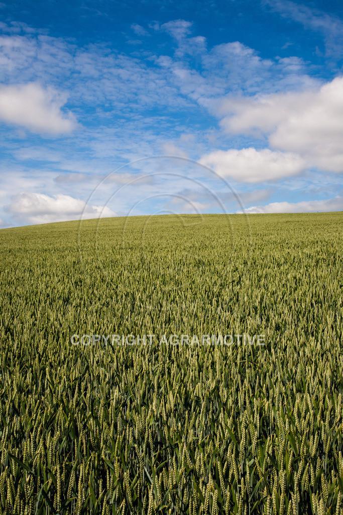 20090613-IMG_2982 | Weizen vor der Abreife AGRARMOTIVE