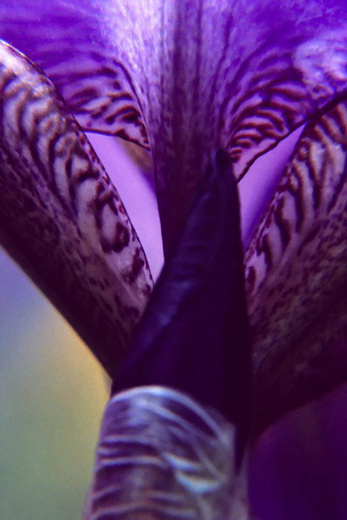 Pflanzenwelten | Triptychon Iris I - 1 | Best. Nr. schwertlilie0034 | Makro-Blumenportrait einer Schwertlilienblüte