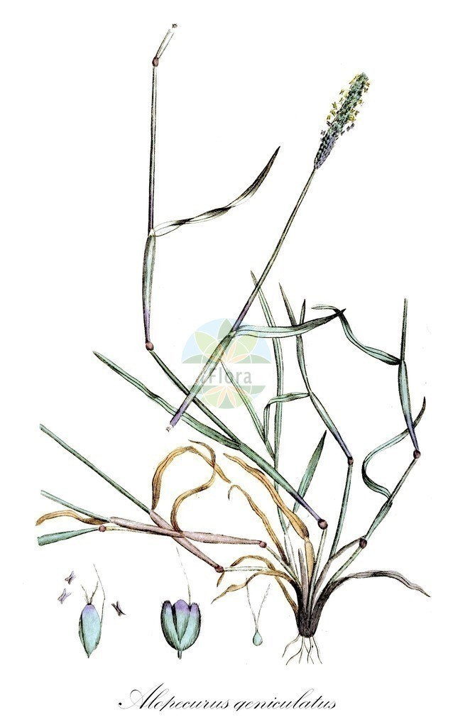 Historical drawing of Alopecurus geniculatus (Marsh Foxtail) | Historical drawing of Alopecurus geniculatus (Marsh Foxtail) showing leaf, flower, fruit, seed
