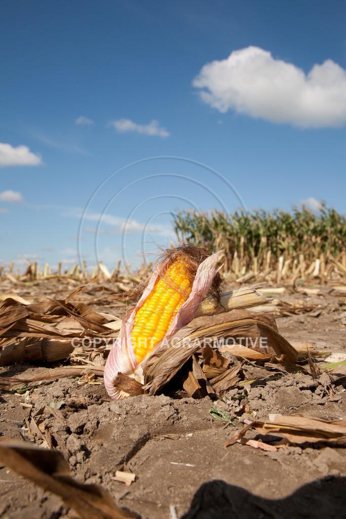 20080914-IMG_9010 | Silomais wird gehäckselt - AGRARFOTO Bilder aus der Landwirtschaft