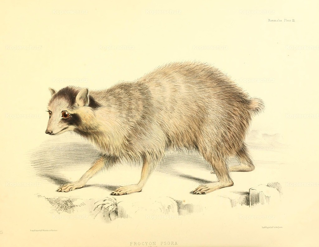 Waterhouse-Hawkins_ B. (1807-1894) - Zoology of H.M.S. Sulphur 1844 - Racoon