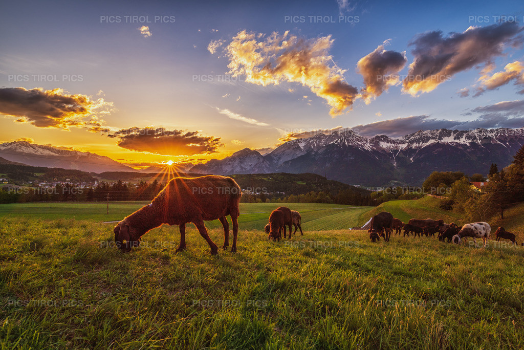 sheep | Sonnenuntergang in IIgls