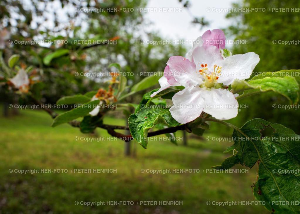 Apfelbaumblüte auf Streuobstwiese Darmstadt-Eberstadt - copyright by HEN-FOTO   Apfelbaumblüte auf Streuobstwiese Darmstadt-Eberstadt - copyright by HEN-FOTO Peter Henrich