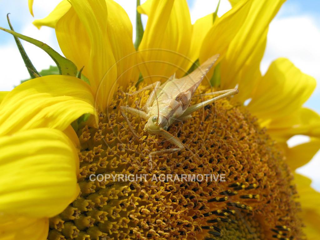 20090711-IMG_4337 | blühende Sonnenblumen im Sommer - AGRARMOTIVE Bilder aus der Landwirtschaft