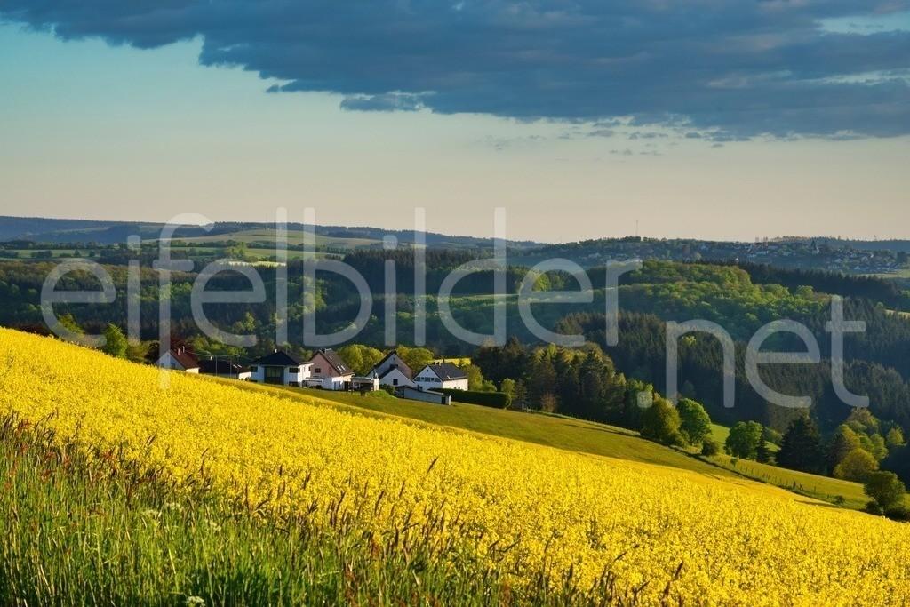 Rapsblüte in Tettscheid | leuchtende Rapsfelder vor dem idyllischen Eifeldorf Tettscheid