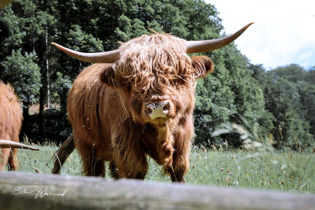 scottish highland cattles im Grobbachtal | im Schwarzwald bei Baden-Baden