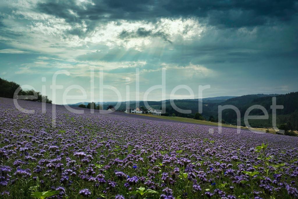 Tettscheid - blühende Phacelia Felder und eine besondere Lichtstimmung | dramatische Wolken, blühende Felder und im Hintergrund das idyllische Eifeldorf Tettscheid, das von der Sonne angestrahlt wird