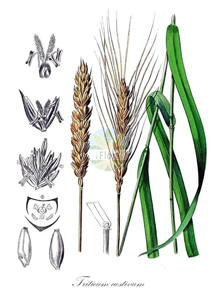 Historical drawing of Triticum aestivum (Bread Wheat) | Historical drawing of Triticum aestivum (Bread Wheat)