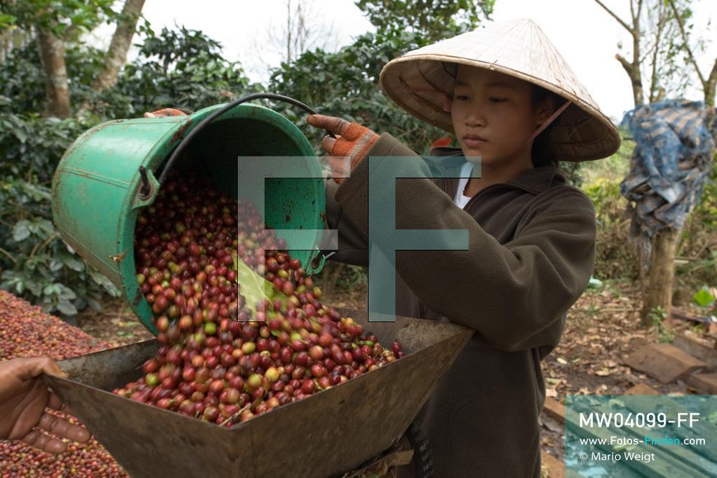 MW04099-FF   Laos   Paksong   Reportage: Kaffeeproduktion in Laos   Nach dem Pflücken werden die Kaffeekirschen mittels einer Maschine von ihrer Schale befreit. In den Plantagen auf dem Bolaven-Plateau wachsen Sträucher der Kaffeesorten Robusta und Arabica.  ** Feindaten bitte anfragen bei Mario Weigt Photography, info@asia-stories.com **