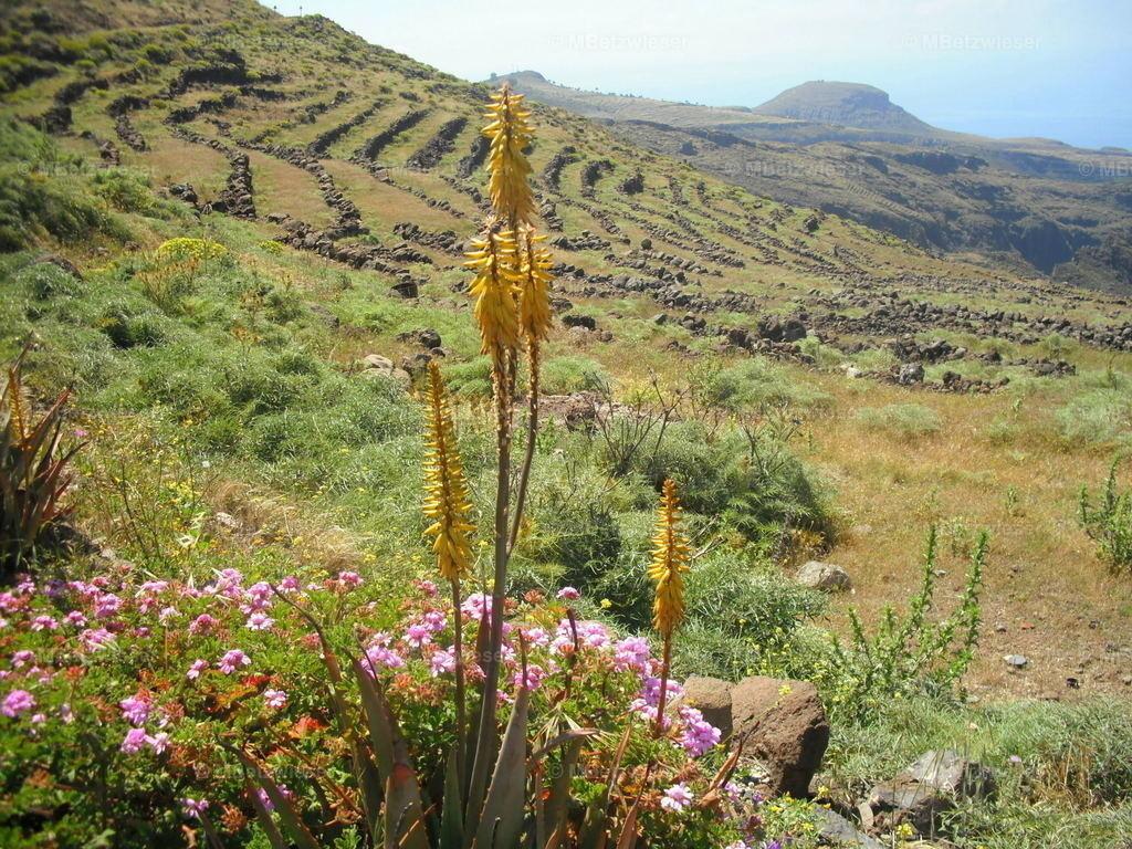 DSCF0067 | Die gelbe Aloe auf La Gomera