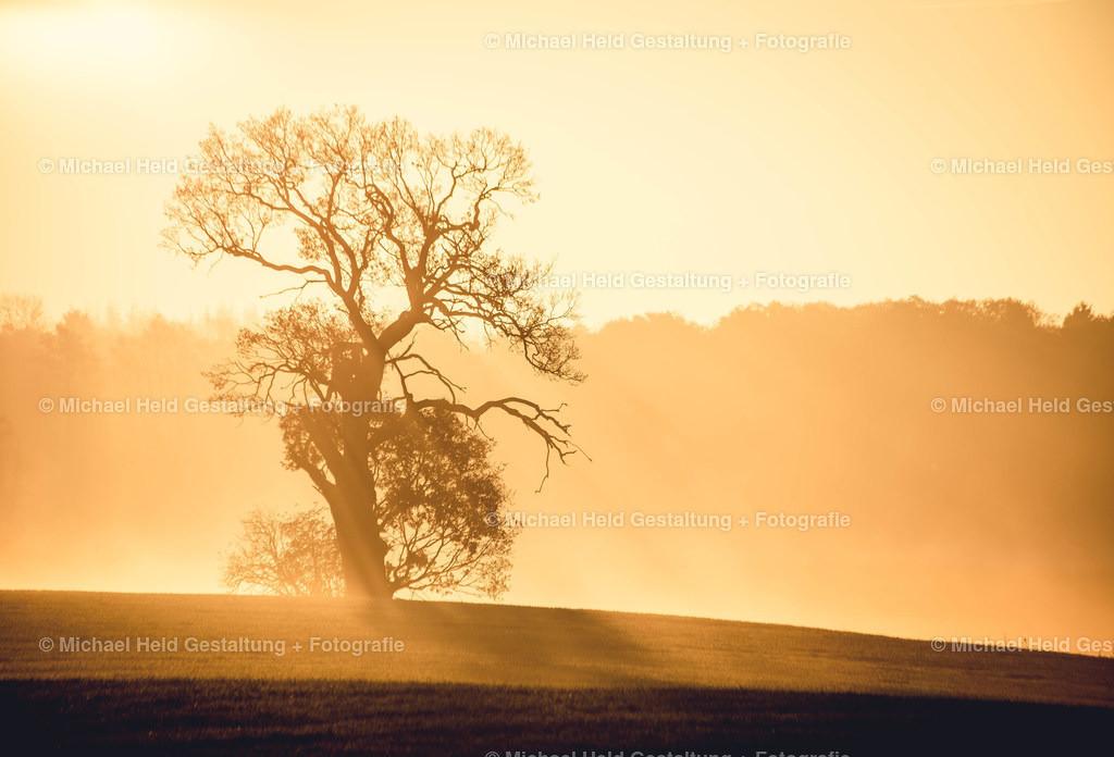 Goldener Morgen | Eine Eiche im Sonnenaufgang