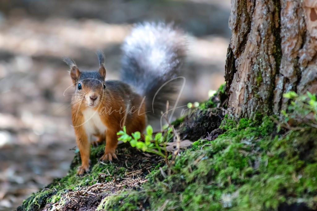 Eichhörnchen | Neugieriges Eichhörnchen