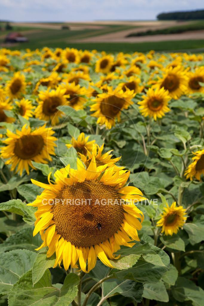 20090711-IMG_3680 | blühende Sonnenblumen im Sommer - AGRARMOTIVE Bilder aus der Landwirtschaft