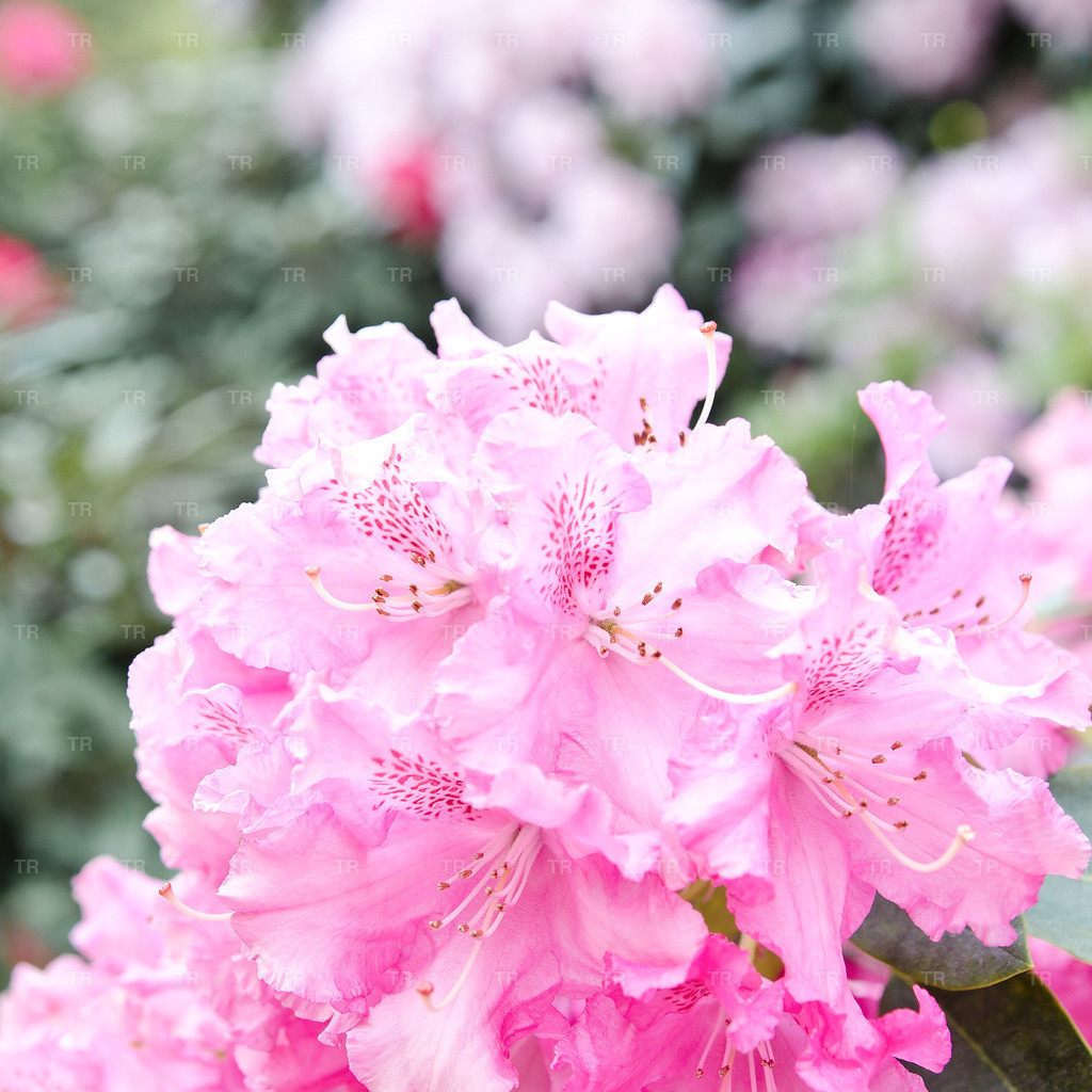 Rhododendron 'Canberra'