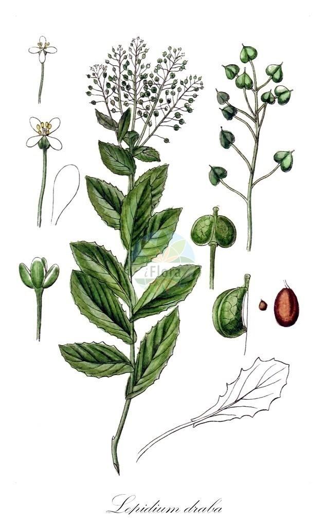 Historical drawing of Lepidium draba (Hoary Cress) | Historical drawing of Lepidium draba (Hoary Cress) showing leaf, flower, fruit, seed