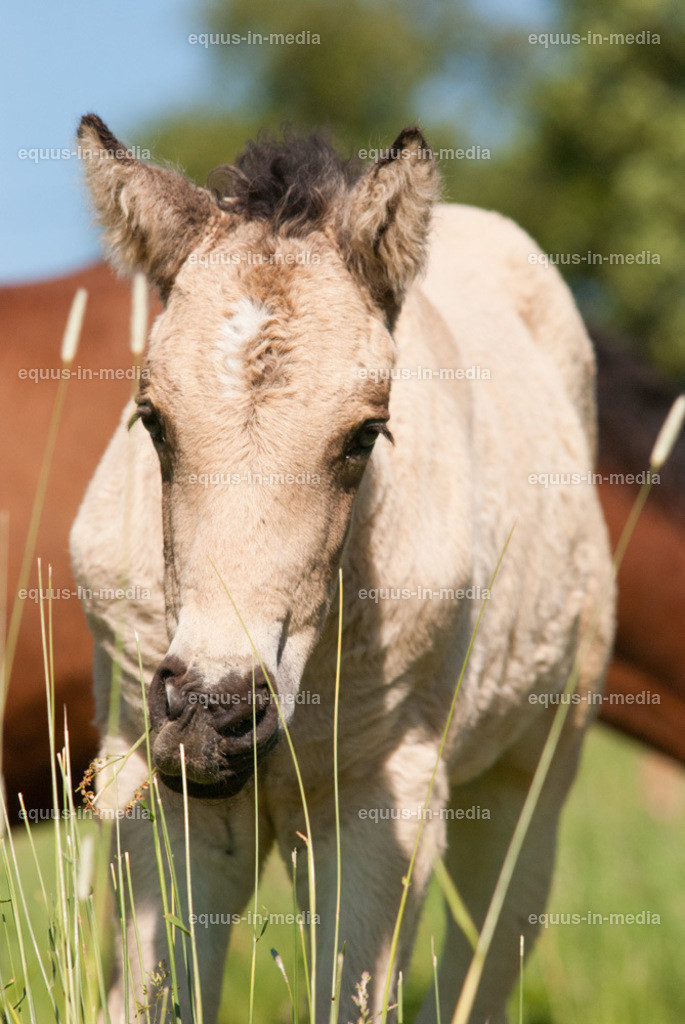 20100616-DSC_6565   Curly Horse Fohlen auf der Weide