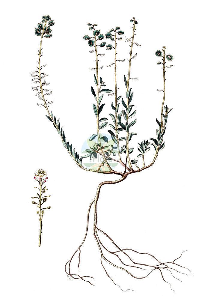 Aethionema saxatile (Alpen-Steintaeschel - Burnt Candytuft) | Historische Abbildung von Aethionema saxatile (Alpen-Steintaeschel - Burnt Candytuft). Das Bild zeigt Blatt, Bluete, Frucht und Same. ---- Historical Drawing of Aethionema saxatile (Alpen-Steintaeschel - Burnt Candytuft).The image is showing leaf, flower, fruit and seed.
