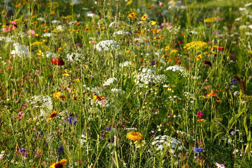 Wildblumen | Blumenwiese mit vielen Wildblumen in voller Pracht.