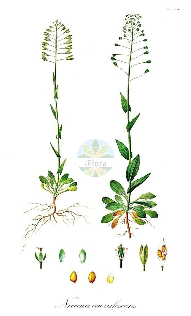 Historical drawing of Noccaea caerulescens (Alpine Penny-cress)   Historical drawing of Noccaea caerulescens (Alpine Penny-cress) showing leaf, flower, fruit, seed
