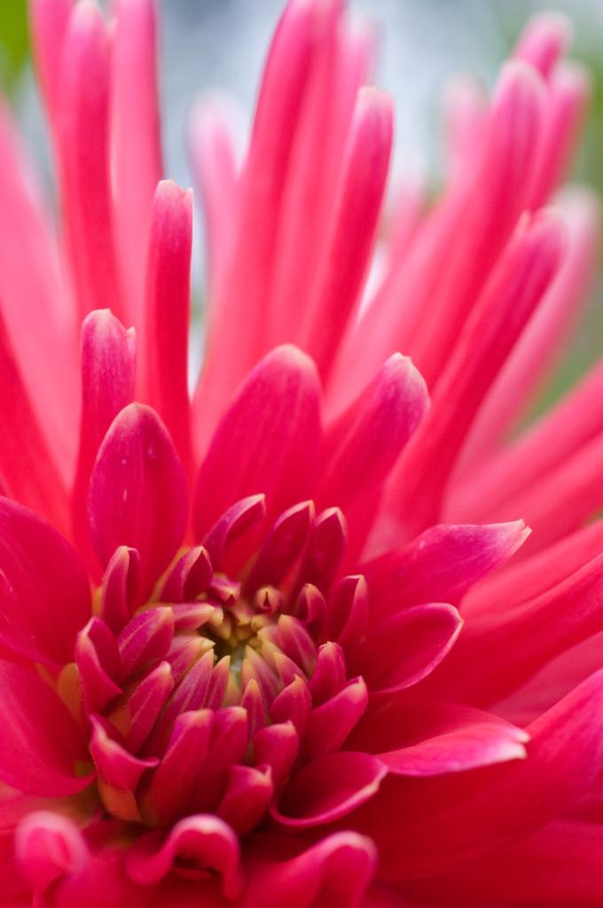 Best. Nr. feuer13 | Makroportrait einer pinkfarbenen Kaktusdahlienblüte | Das Element Feuer steht für den Sommer, seine Himmelsrichtung ist der Süden, seine Farben sind kräftige Rot-, Orange- und Purpurtöne. Spitze und dreieckige Formen repräsentieren es am besten. Es steht einerseits mit Lernen, Aktivität und Gestaltung/Design in Verbindung und kann gut überall eingesetzt werden, wo intellektuell gearbeitet wird, also z.B. auch in Büros und im Homeoffice. Andererseits repräsentiert es Herzenswärme, Liebe und Lebensfreude und kann auch im Wohnzimmer eingesetzt werden.