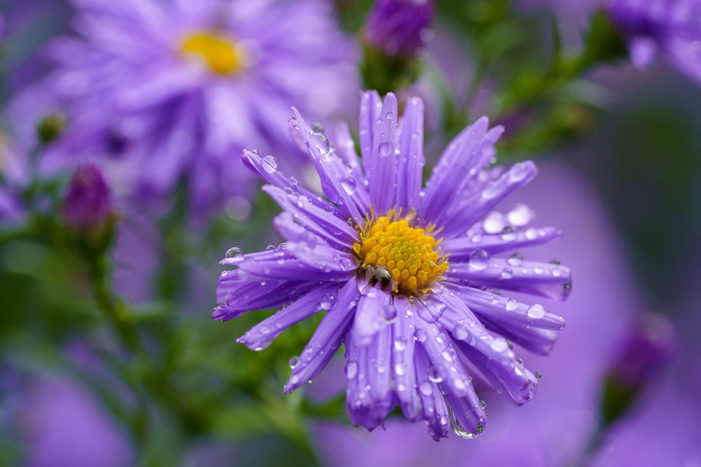 Astern im Regen - Aster | Blüte einer violetten Aster im Regen (Aster).