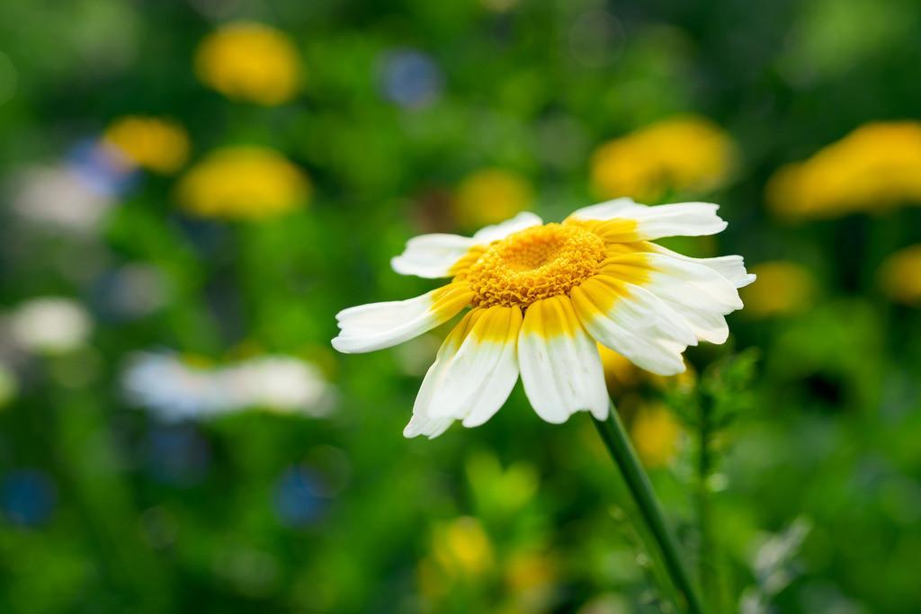 Kronenwucherblume - Glebionis coronaria | Geld-weiße Blüte einer Kronenwucherblume (Glebionis coronaria).