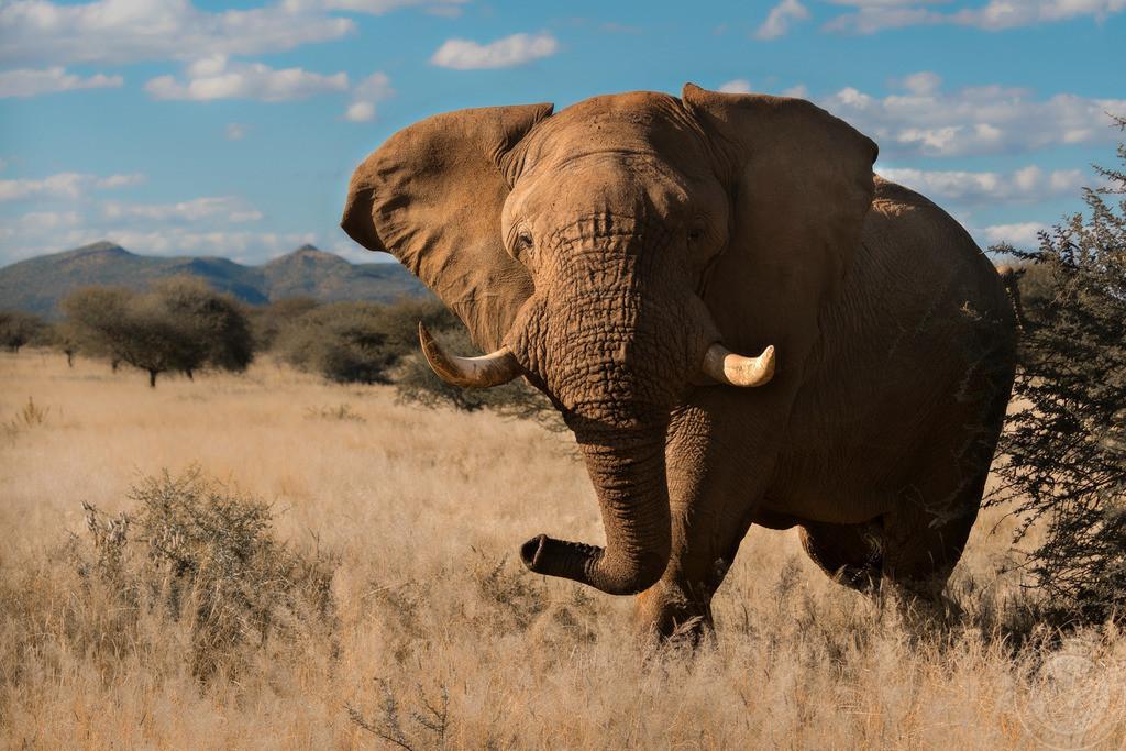 Elefantenbulle in der Musth