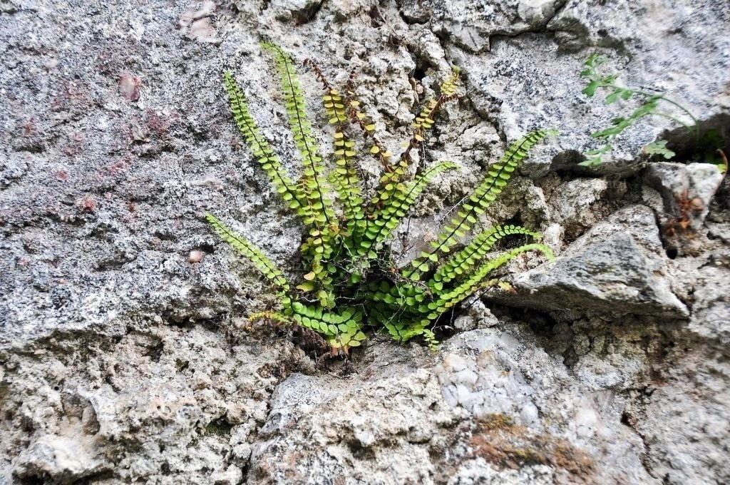 Pflanze-Steinmauer_001_1