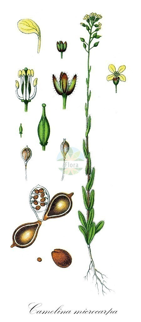 Historical drawing of Camelina microcarpa (Lesser Gold-of-Pleasure) | Historical drawing of Camelina microcarpa (Lesser Gold-of-Pleasure) showing leaf, flower, fruit, seed